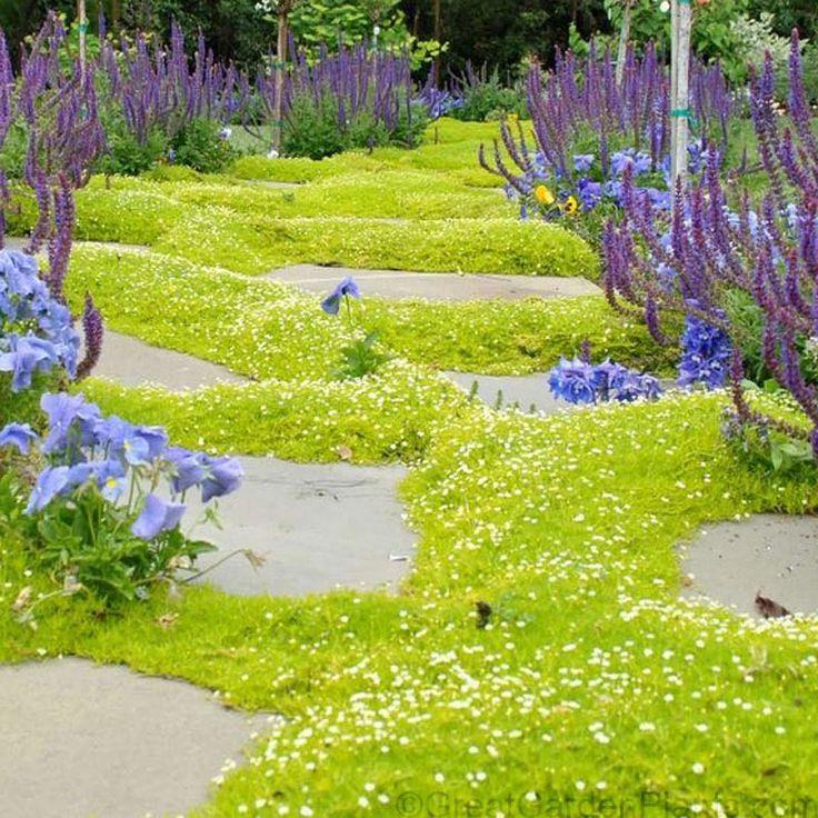 Jardin Japonais Plantes Couvre sol Sagina Subulata Aurea Jardin Japonais