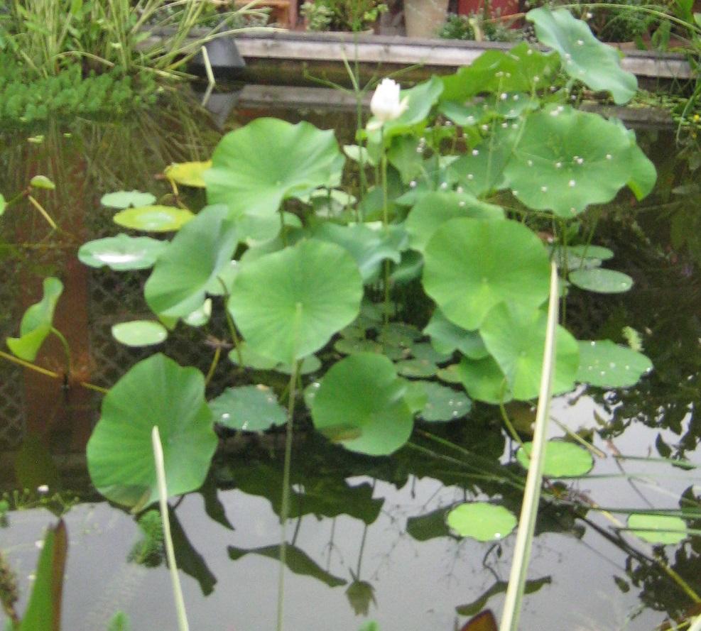 10 Graines De Lotus Sacre Nelumbo Nucifera Rose Jardin ... destiné Plante Bassin De Jardin