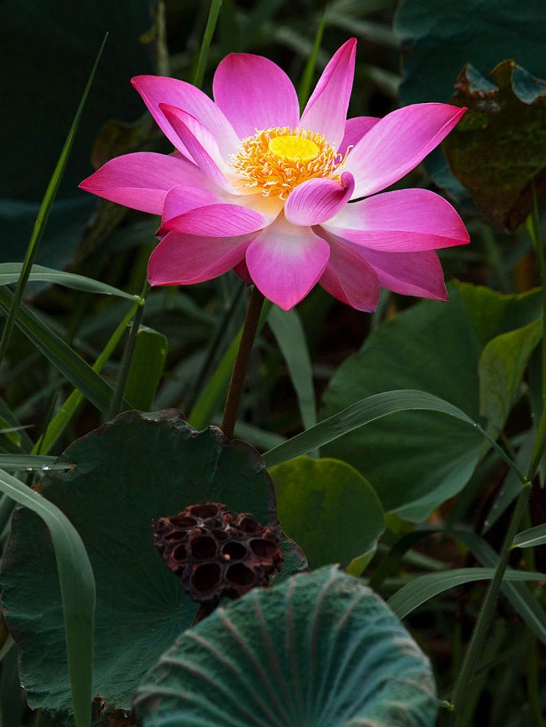 10 Graines De Lotus Sacre Nelumbo Nucifera Rose Plante ... dedans Plante Bassin De Jardin