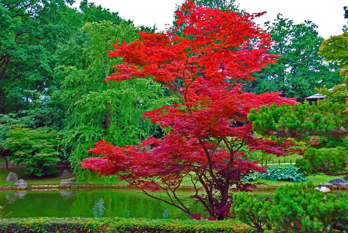 Acer Japonicum | Arbres - Trees | Jardins, Arbres Pour Petit ... intérieur Arbre Pour Petit Jardin