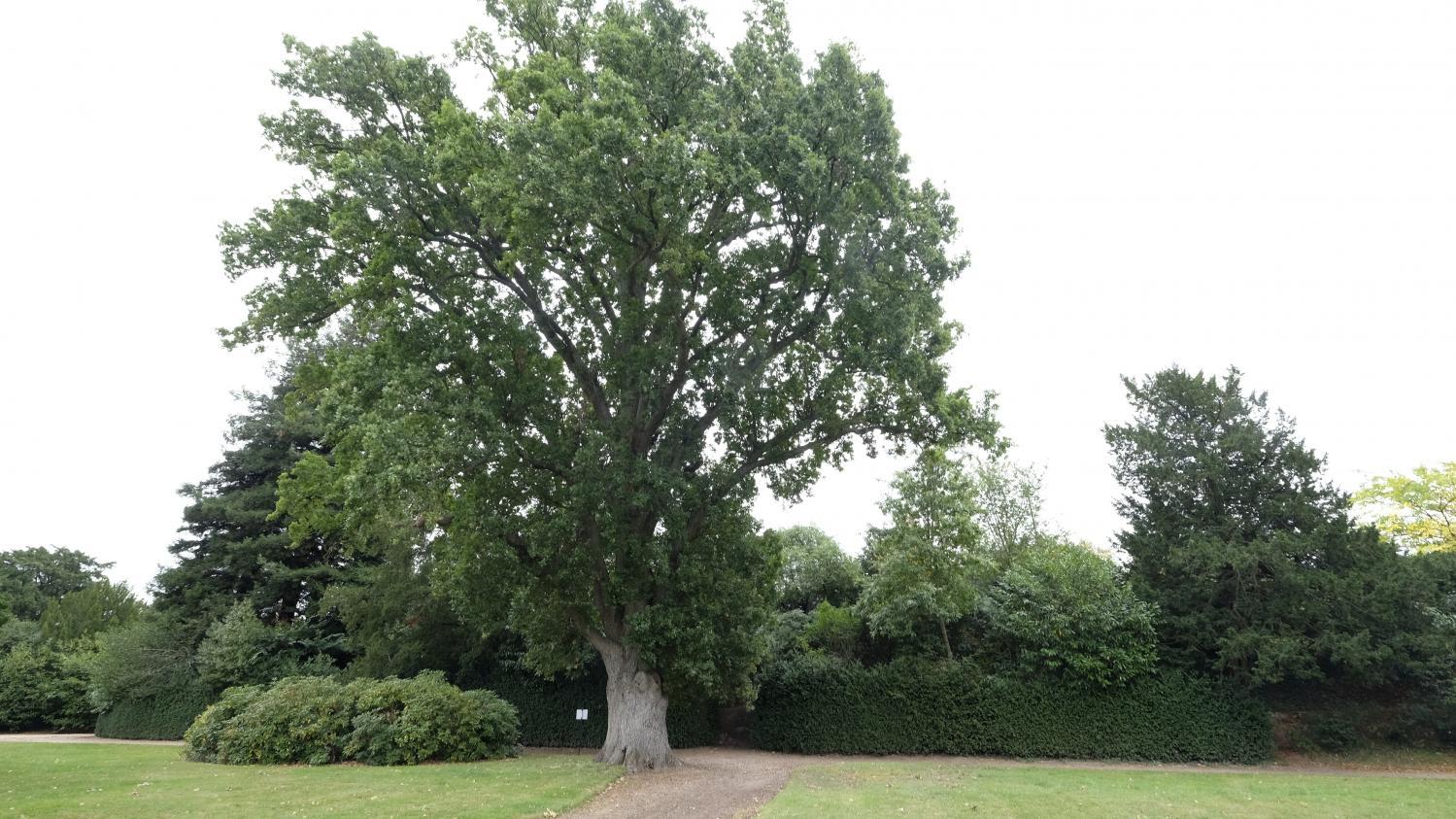 Jardin. Sa Majesté, Le Chêne ! encequiconcerne Arbre Pour Petit Jardin