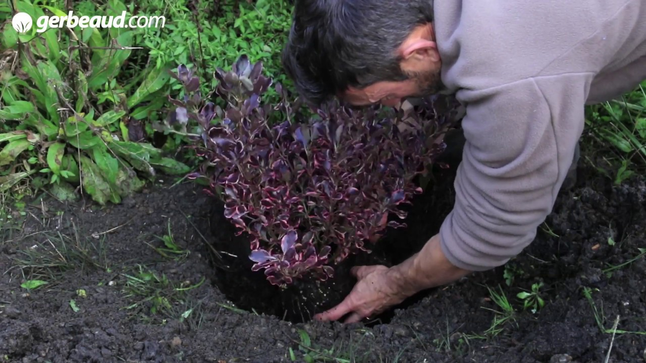 Mimosa : Un Arbuste Plein D'atouts dedans Arbre Pour Petit Jardin