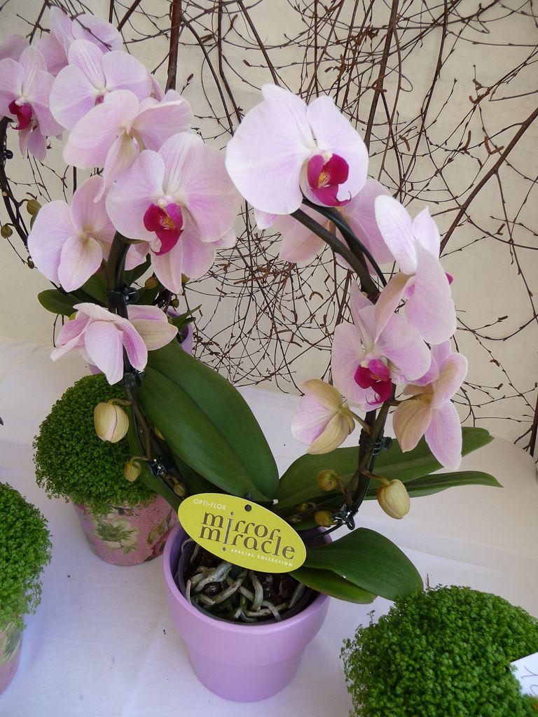 Phalaenopsis Sur Arceau | Plantes Que J'aime / Plants I Love avec Arceau Jardin