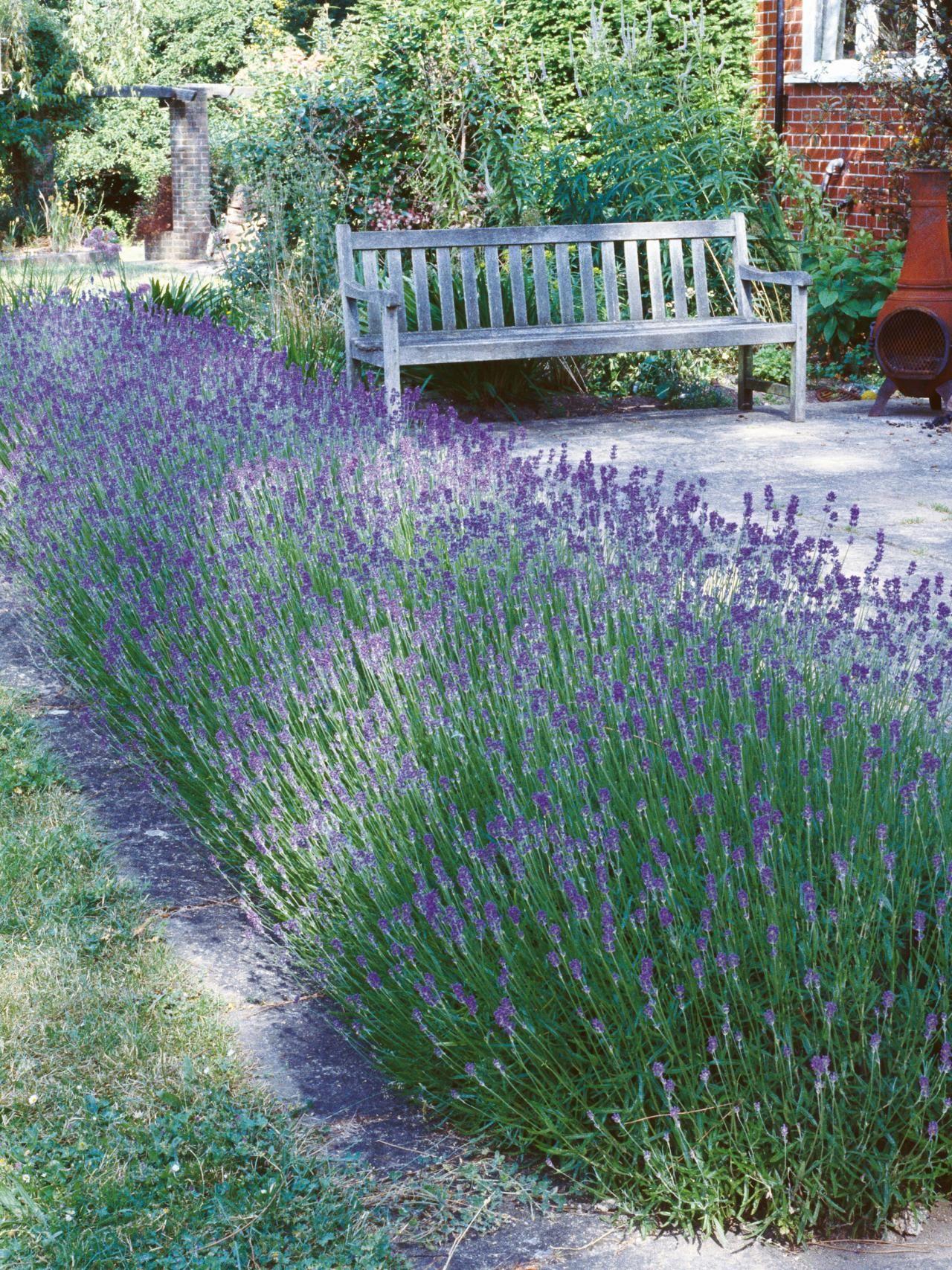 Types Of Lavender | Beaux Jardins, Idées Jardin Et Jardins avec Delimitation Jardin