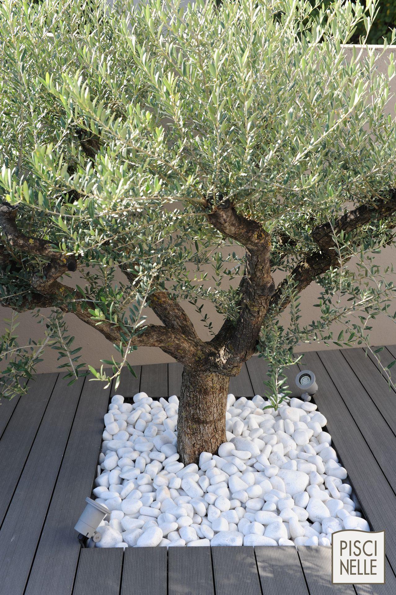 Un #olivier Entouré De Galets Pour Votre #jardin #galet ... pour Jardin Avec Galets Blancs