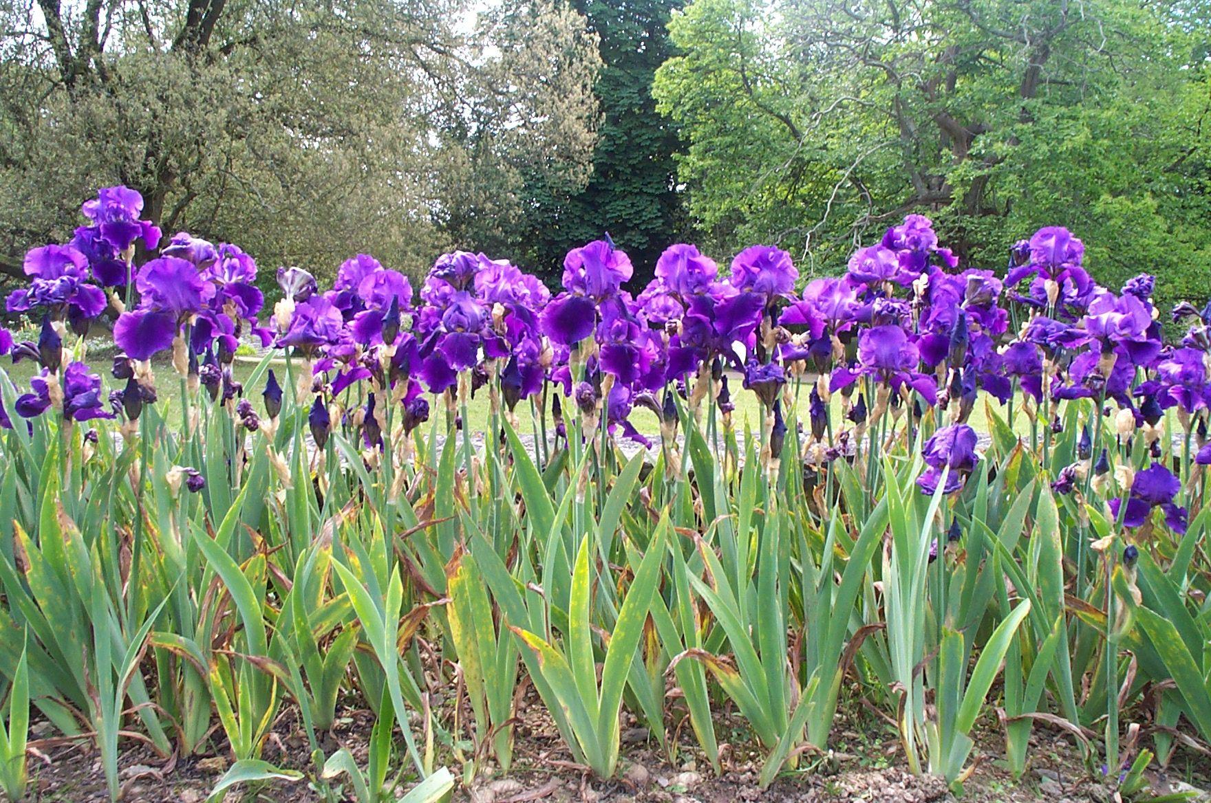 Diviser Les Iris   Cultiver Son Jardin, Jardinage, Iris Fleur intérieur Lame Parfumee Des Jardins