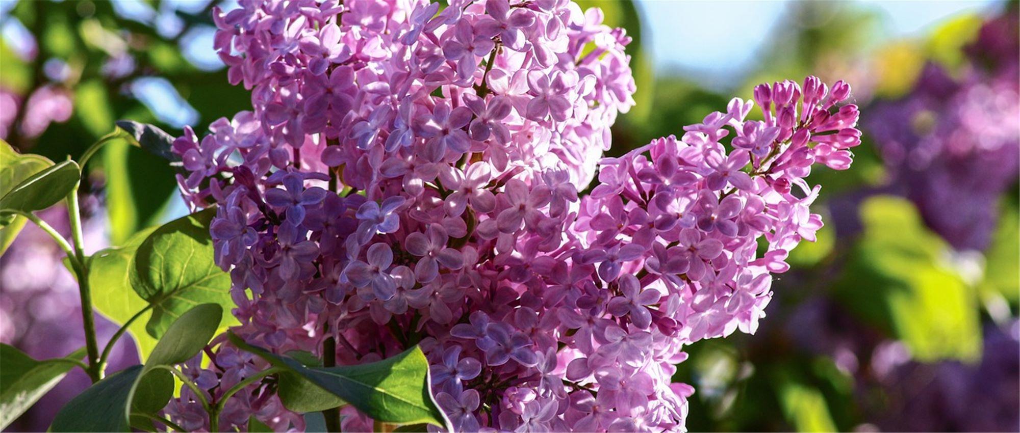 Quelles Fleurs Parfumées Pour Le Jardin ? - Gardena pour Lame Parfumee Des Jardins