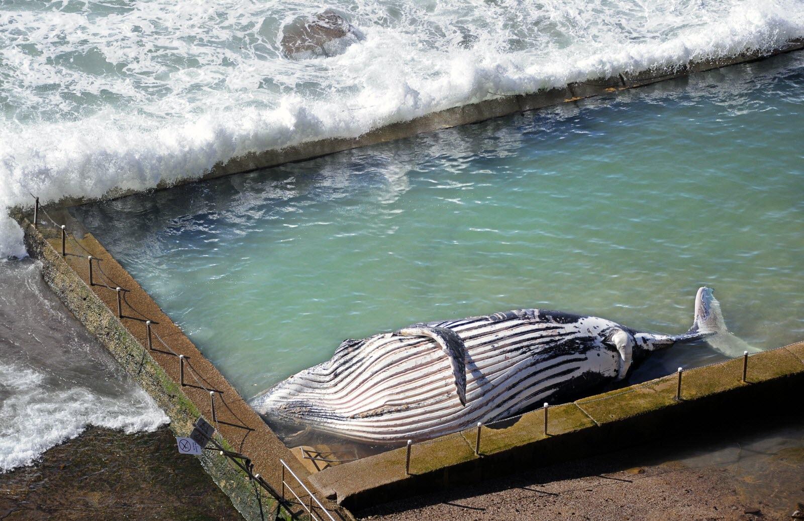 Insolite - Australie Le Cadavre D'Un Mammifère Marin Rejeté ... encequiconcerne Piscine De La Baleine