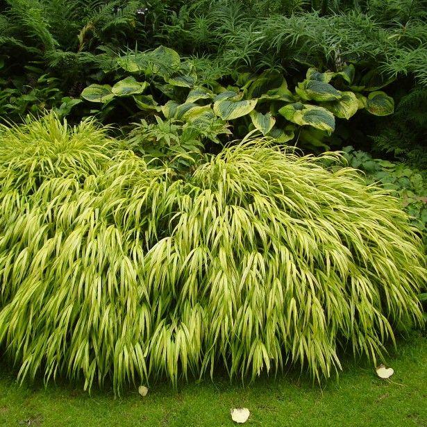 Herbe+Du+Japon+-+Hakonechloa+Macra+Aureola | Jardin ... dedans Couvre Sol Japonais