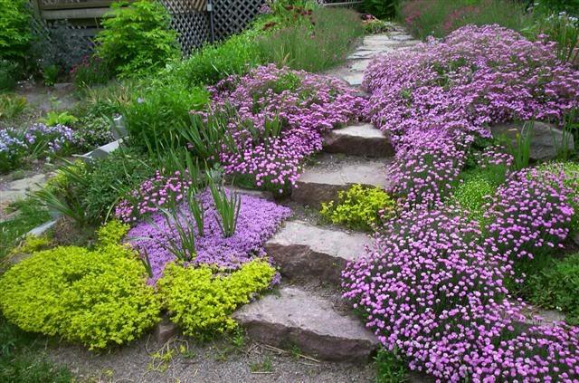 Jardin En Pente; La Saponaire | Jardin En Pente ... concernant Couvre Sol Japonais