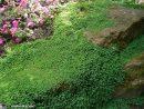 L' Helxine Forme De Beaux Coussins Couvre-Sol - Le ... pour Couvre Sol Japonais