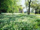 L'Ail Des Ours, Un Couvre-Sol À Contrôler - Détente Jardin tout Couvre Sol Japonais