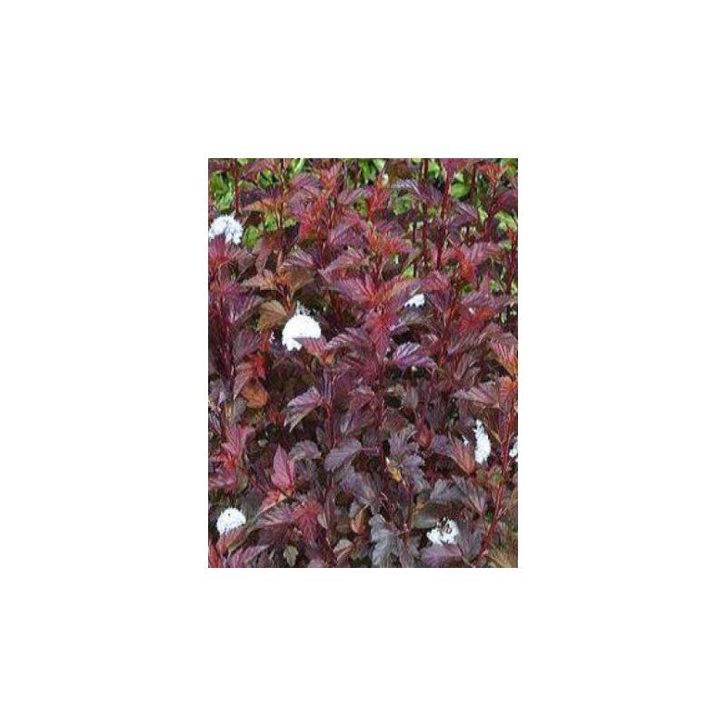 Physocarpus Opulifolius 'Diabolo' D'Or À Feuilles D'Obier ... destiné Date Braderie Grosfillex 2020
