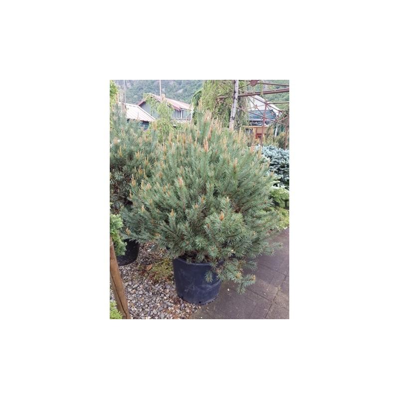 Pinus Sylvestris (Pin Sylvestre) - Pépinières Constantin concernant Date Braderie Grosfillex 2020