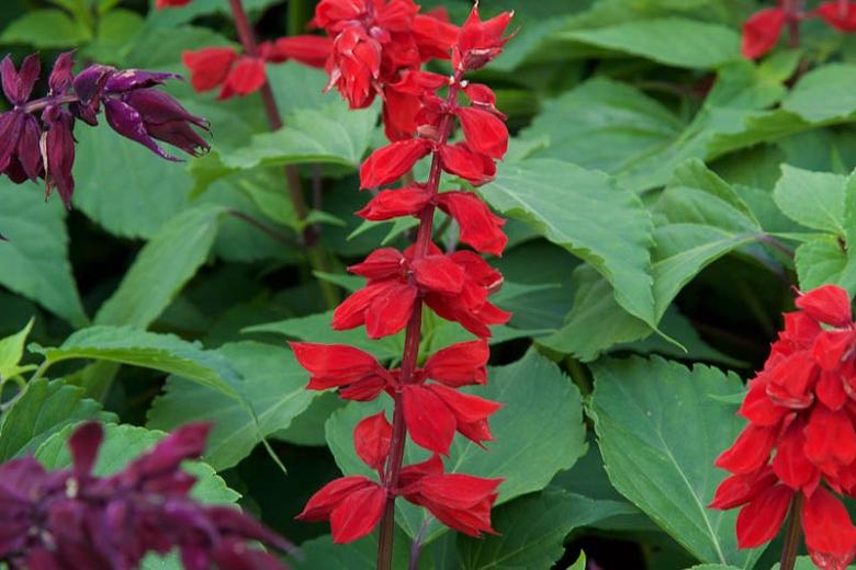 Salvia Splendens 'Saucy Red' (Scarlet Sage) concernant Salvea 3 Places