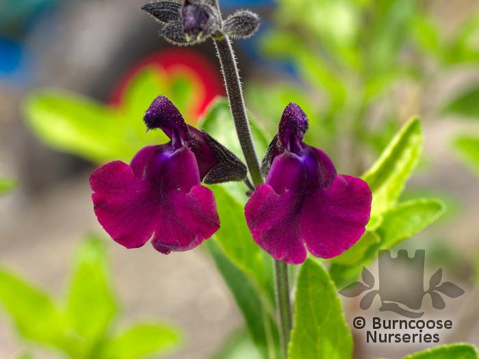 Salvia X Jamensis 'Nachtvlinder' From Burncoose Nurseries à Salvea 3 Places