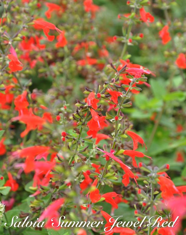 Three Dogs In A Garden: Annual Salvia: Recent ... tout Salvea 3 Places